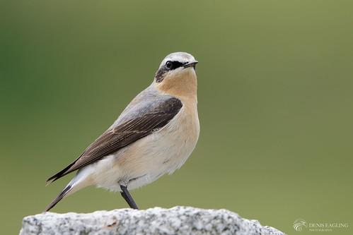Wheatear - male