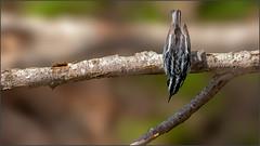 (c)WMH_2019_05_19_5631 Black and White Warbler (WesleyHowie) Tags: kentville wildlife birds minersmarsh canada location warbler blackandwhitewarbler novascotia