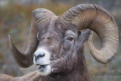 Rocky Mountain Bighorn Sheep (Turk Images) Tags: jaspernationalpark mountainparks northamercianungulates oviscanadensis rockymountainbighornsheep alberta bovidae mammals rockymountains fall mountains sheep woodlands