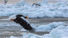 Flight of the Sea Eagle (chasingthelight10) Tags: travel photography landscapes snowscenes places japan hokkaido yudanaka wildlife steller'sseaeagle