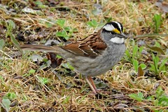 White-throated Sparrow (smkeereweer) Tags: whitethroatedsparrow zonotrichiaalbicollis novascotia canada eastriver