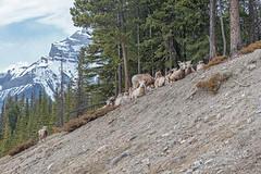 2019-03-AB-Banff (gabbert_james) Tags: sheep big horn rocky mountain wildlife alberta canada forest banff national park