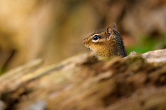 Pop Up (Eric Tischler) Tags: chipmunk head wood tree log nature