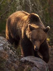 _3360702 (Markus Jansson) Tags: bear brownbear sweden wild wildlife nature animal wildnordic