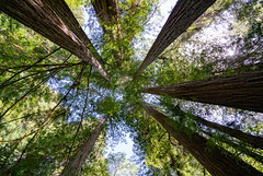 Looking Up 2 (Greg Adams Photography) Tags: redwood trees bark trunk green sky light giants towering park nature preserve peaceful serene amazing wilderness california northerncalifornia calif ca april 2019 spring roadtrip hhsc2000 travel