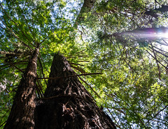 Looking Up 5 (Greg Adams Photography) Tags: redwood trees bark trunk green sky light giants towering park nature preserve peaceful serene amazing wilderness california northerncalifornia calif ca april 2019 spring roadtrip hhsc2000 travel