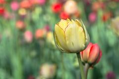 Tulip (sklachkov) Tags: tulip tulips flower flowers spring colors light