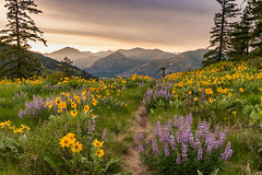 Flowers on Sun Mountain (Louspeed) Tags: methow flowers balsamroot lupine mountains sunset sky green yellow purple