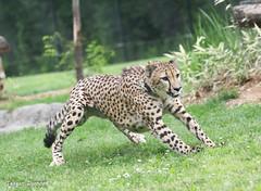 234A1225.jpg (Mark Dumont) Tags: cheetah teagan zoo mammal dumont cat cincinnati