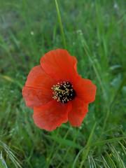 00100dPORTRAIT_00100_BURST20190519073731849_COVER (olegz2012) Tags: flower google pixel 2xl spring nature beauty red