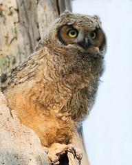 Watching (Gaby Swanson, Photographer) Tags: owl owlet nature photography birdsofprey birds greathornedowl mageemarshwildliferefuge