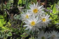 Smile !! (Lopamudra !) Tags: lopamudra lopamudrabarman lopa flora trek flower flowers trekking amritganga amritgangavalley valley vale himalaya himalayas highaltitude highland india uttaranchal uttarakhand uttarkhand garhwal beauty beautiful