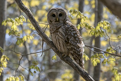 Barred owl (Strix varia) (octothorpe enthusiast) Tags: lemoinepointconservationarea barredowl strixvaria owl kingston ontario bird calendar2020