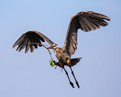 Great Blue Heron Inflight Bringing in Nesting Branches (dbadair) Tags: outdoor blue sky nature wildlife 7dm2 7d ii ef100400mm canon florida bird bif flight