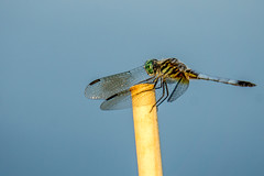 Just hanging on there (Blue Dasher) (agasfer) Tags: 2019 southcarolina greenville furman swanlake sony a6000 sonye456355210oss bugs dragonflies