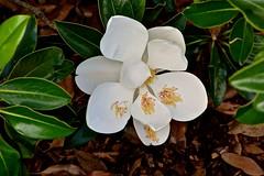 Magnolia (deanrr) Tags: magnolia madisoncountyalabama huntsvillealabama nature outdoor flower bloom 2019 madisoncounty