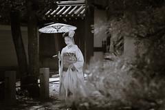 Maiko_20190409_121_4 (Maiko & Geiko) Tags: 20190409 myokenji temple kanohisa kyoto maiko 舞妓 妙顕寺 叶久 京都 叶家 kanoya ksumika