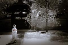 Maiko_20190409_121_10 (Maiko & Geiko) Tags: 20190409 myokenji temple kanohisa kyoto maiko 舞妓 妙顕寺 叶久 京都 叶家 kanoya ksumika