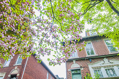 1381_1027FL (davidben33) Tags: brooklyn newyork crownheights streetphotos street photos trees bushes flowers flowering blooming blossoming irises architecture landscape cityscape houses buildings jewish people 718