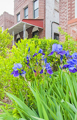 1381_1013FL (davidben33) Tags: brooklyn newyork crownheights streetphotos street photos trees bushes flowers flowering blooming blossoming irises architecture landscape cityscape houses buildings jewish people 718