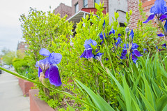 1381_1011FL (davidben33) Tags: brooklyn newyork crownheights streetphotos street photos trees bushes flowers flowering blooming blossoming irises architecture landscape cityscape houses buildings jewish people 718