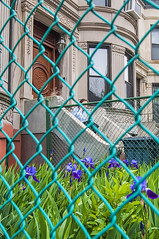 1381_1003FL (davidben33) Tags: brooklyn newyork crownheights streetphotos street photos trees bushes flowers flowering blooming blossoming irises architecture landscape cityscape houses buildings jewish people 718