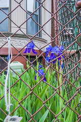 1381_0999FL (davidben33) Tags: brooklyn newyork crownheights streetphotos street photos trees bushes flowers flowering blooming blossoming irises architecture landscape cityscape houses buildings jewish people 718