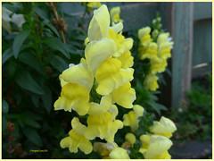 Snapdragon (3) (margaretpaul) Tags: flowers garden homegarden snapdragon