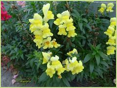 Snapdragon (1) (margaretpaul) Tags: flowers garden homegarden snapdragon waac weekendassignmentandcontest