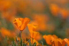 Poppy (rajaramki) Tags: superbloom superbloom2019 antelopevalleypoppyreserve
