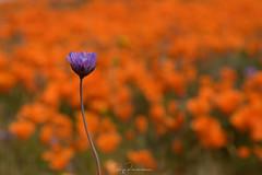 Standing Out (rajaramki) Tags: superbloom superbloom2019 wildflowers antelopevalleypoppyreserve