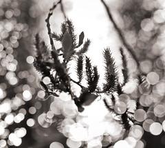 Brilliance (pni) Tags: monochrome tree branch water unsharp blur focus bokeh light bubble töölönlahti tölöviken helsinki helsingfors finland suomi pekkanikrus skrubu pni