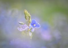 speedwell (Emma Varley) Tags: flower wild dreamy speedwell blue soft nature beauty dream