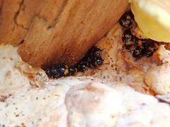 Fungi beetles on Chicken of the Woods (Michiel Thomas) Tags: schimmelvreter zwamkever fungi beetle megalodacne fungus feeding schimmelkever fungusbeetle laetiporus sulphureus zwavelzwam hortus haren groningen de wolf wwwhortusharennl chinese tuin garden chinesegarden chinesetuin