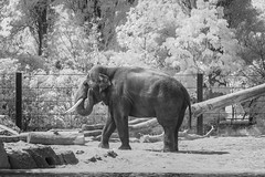 Elephant (PeteMartin) Tags: artis bw elephant infrared zoo amsterdam netherlands