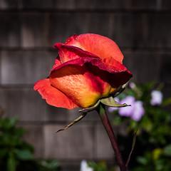 (seua_yai) Tags: northamerica california sanfrancisco thecity rose garden seuayai sanfrancisco2019