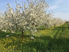 IMG_7544 (Бесплатный фотобанк) Tags: россия краснодар цветущий фруктовый весенний яблоневый вишневый сад весна цветение
