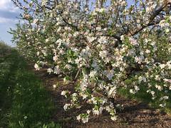 IMG_7539 (Бесплатный фотобанк) Tags: россия краснодар цветущий фруктовый весенний яблоневый вишневый сад весна цветение