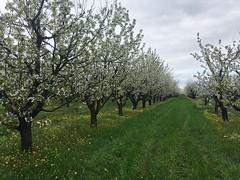 IMG_7461 (Бесплатный фотобанк) Tags: россия краснодар цветущий фруктовый весенний яблоневый вишневый сад весна цветение