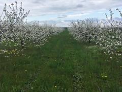 IMG_7454 (Бесплатный фотобанк) Tags: россия краснодар цветущий фруктовый весенний яблоневый вишневый сад весна цветение