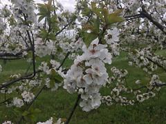 IMG_7445 (Бесплатный фотобанк) Tags: россия краснодар цветущий фруктовый весенний яблоневый вишневый сад весна цветение