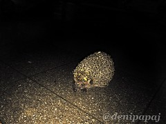 Nobody can touch me 😋😋 #hedgehog (Denopapaj) Tags: hedgehog