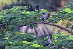 UNA COPPIA DI TURACO   ---   A COUPLE OF TURACO (Ezio Donati is ) Tags: uccelli birds animali animals alberi trees natura nature foresta forest westafrica costadavorio abidjan arealeslagunes