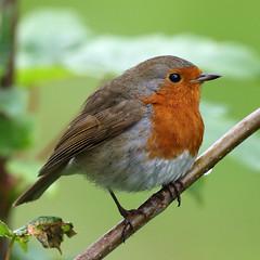 Rainy Robin (Treflyn) Tags: rain robin bird garden keeping company top eardington bank shropshire