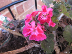 Tuesday, 21st, Pink flowers IMG_8146 (tomylees) Tags: essex morning spring may 2019 21st tuesday garden flower pelargonium