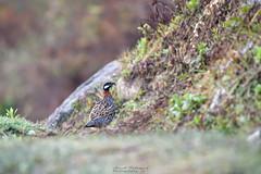 Just enough... (Moving Iris) Tags: birdphotography bird birding bokeh birdwatching birdsofflickr nature nikond500 nikon nikkor200500vr nikonindia himalayas himalayanwildlife himalayanbirds