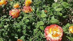 redyellowgreen (archgionni) Tags: colori colours natura nature giardino garden foglie leaves verde green fiori flowers petali petals giallo yellow rosso red piante plantes