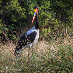 Saddle billed stork (petraherdlitschke) Tags: africa afrika botswana animals tier wildlife wildlifephotography naturephotography nature birdphotography outofafrica outdoors okavangodelta moremi bird stork