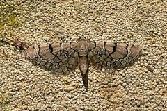 Netted Pug ... Eupithecia venosata (AndyorDij) Tags: nettedpug eupitheciavenosata geometridae pug nationalmothweek insect moth andrewdejardin england empingham empinghammoths rutland uk unitedkingdom lepidoptera