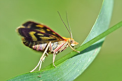 1471_mint_moth (Realmantis) Tags: mint moth butterfly macro bug invertebrate